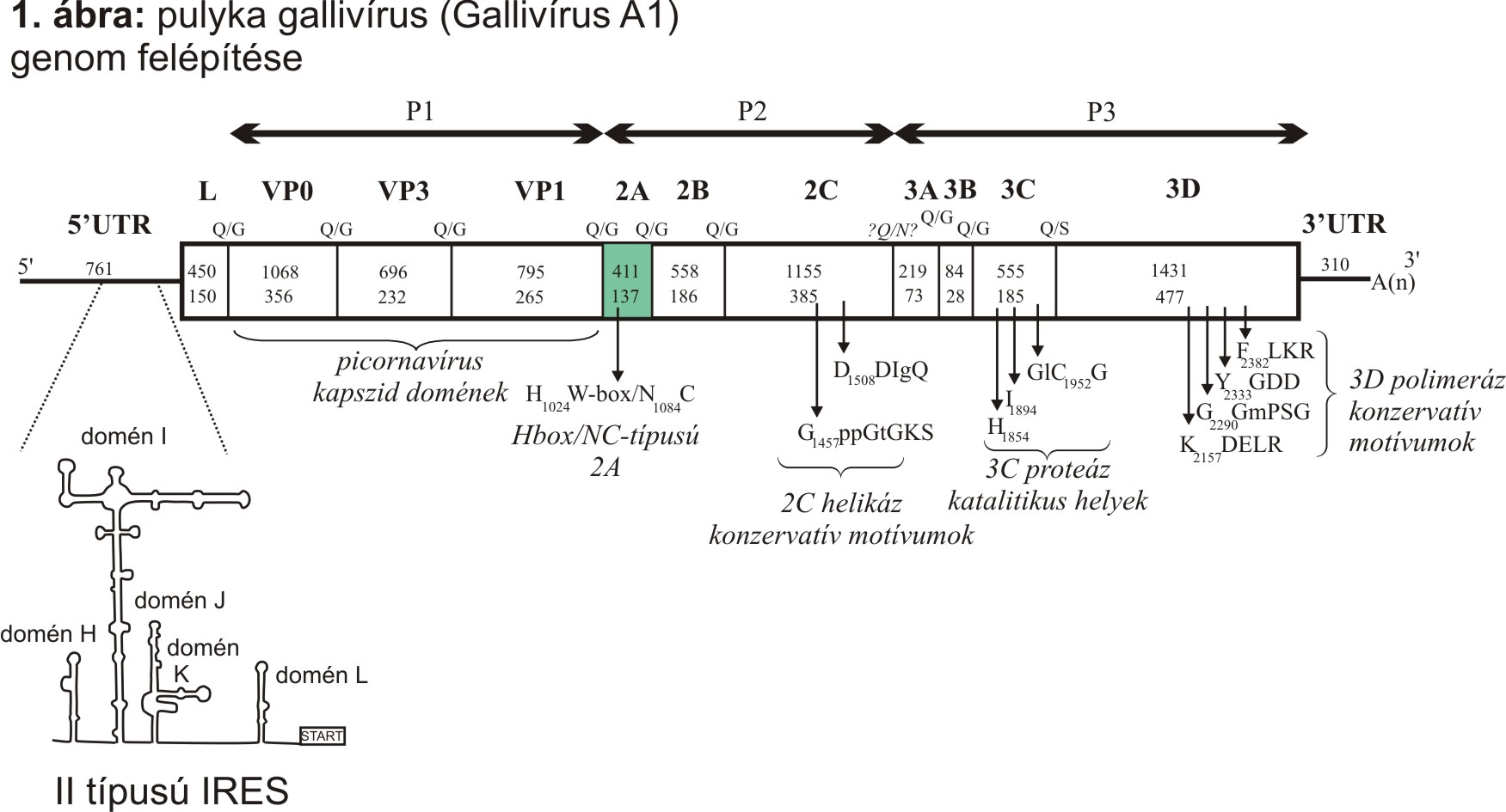 1. ábra- Gallivírus genom térképe.jpg