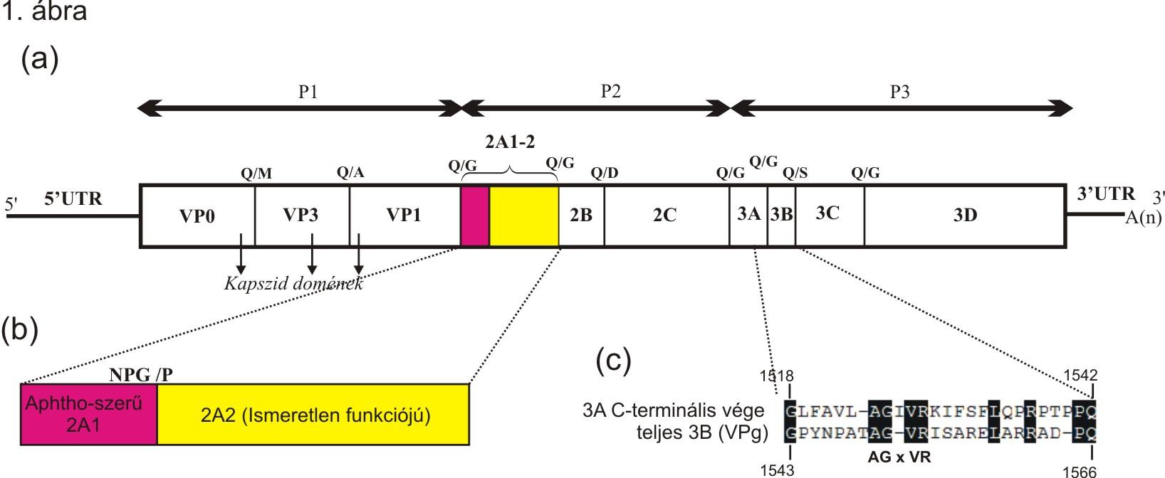 Kunsagivirus-1.abra.jpg