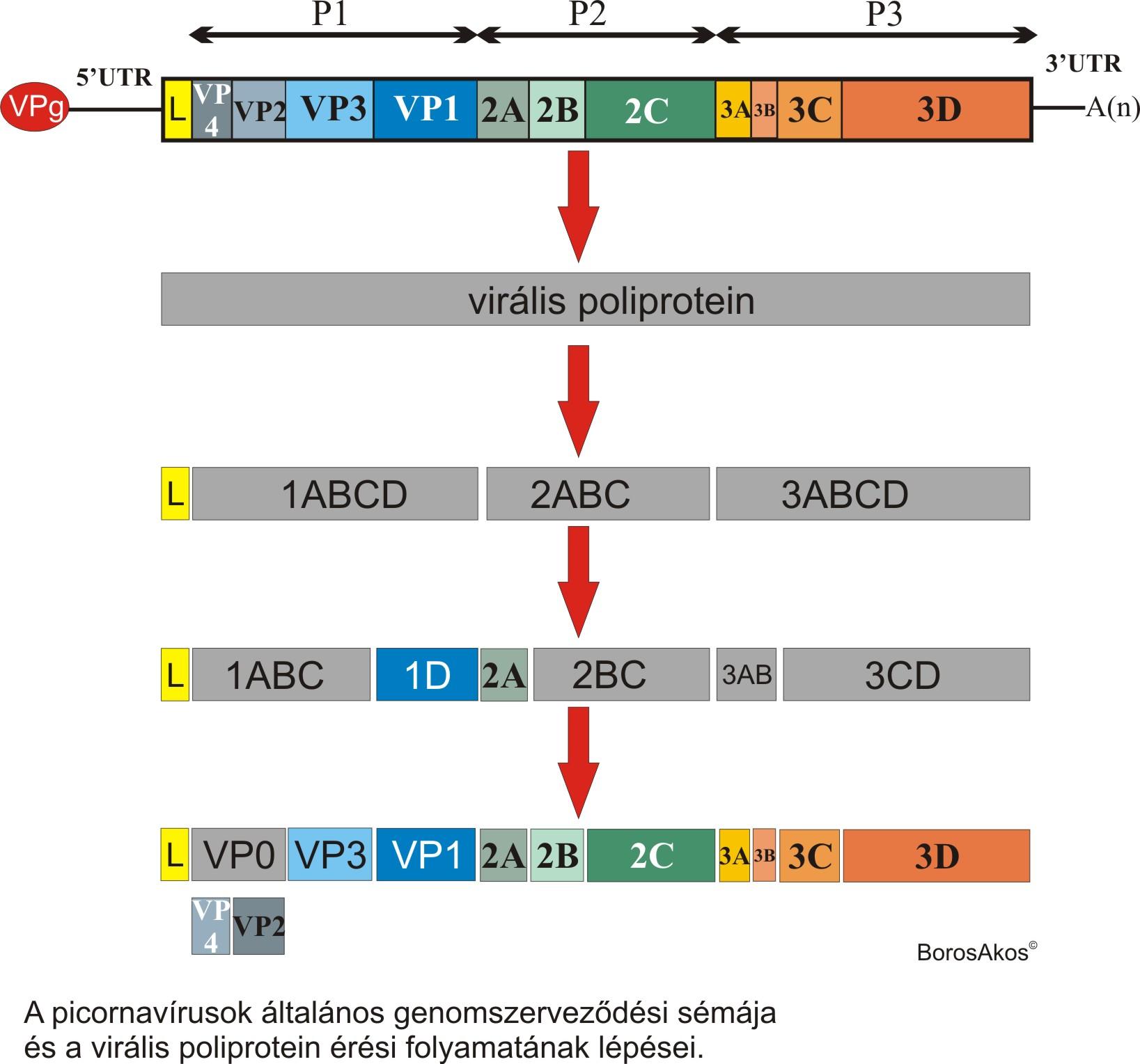 Picornaviridae_genome_CLEAVAGE.jpg