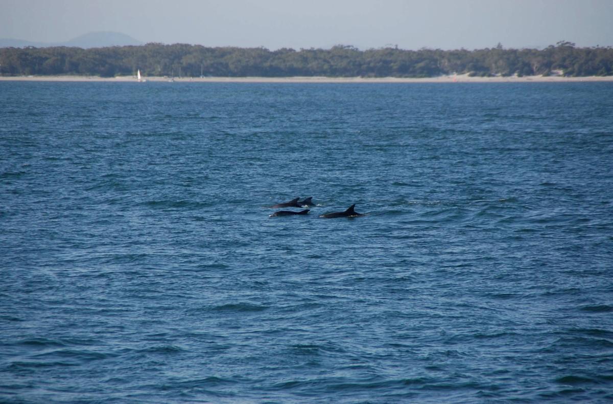 Delfinek Jervis bay-ben