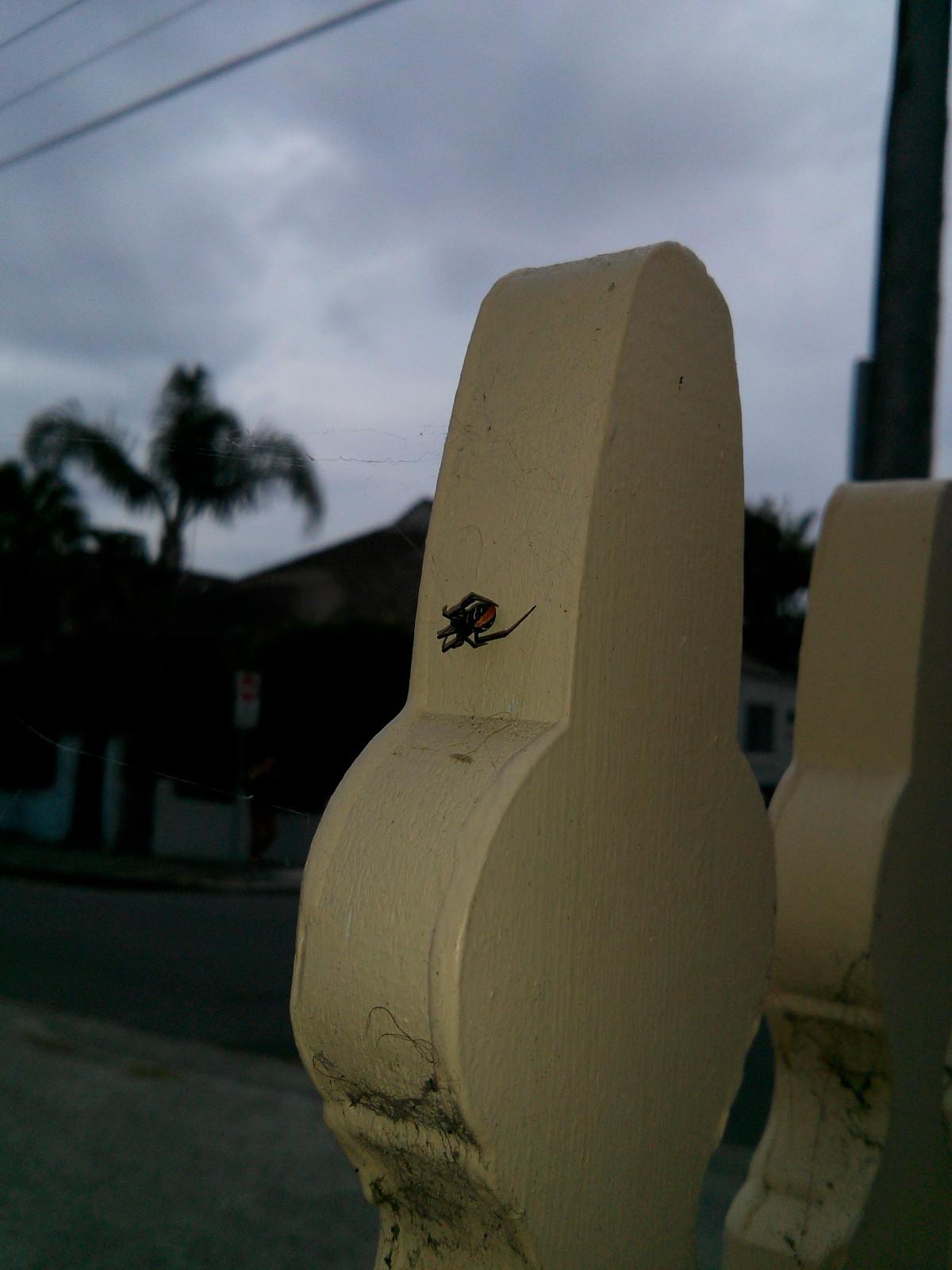 Ez kicsi, alig észrevehető pók, de nagyon mérgező: Redback spider