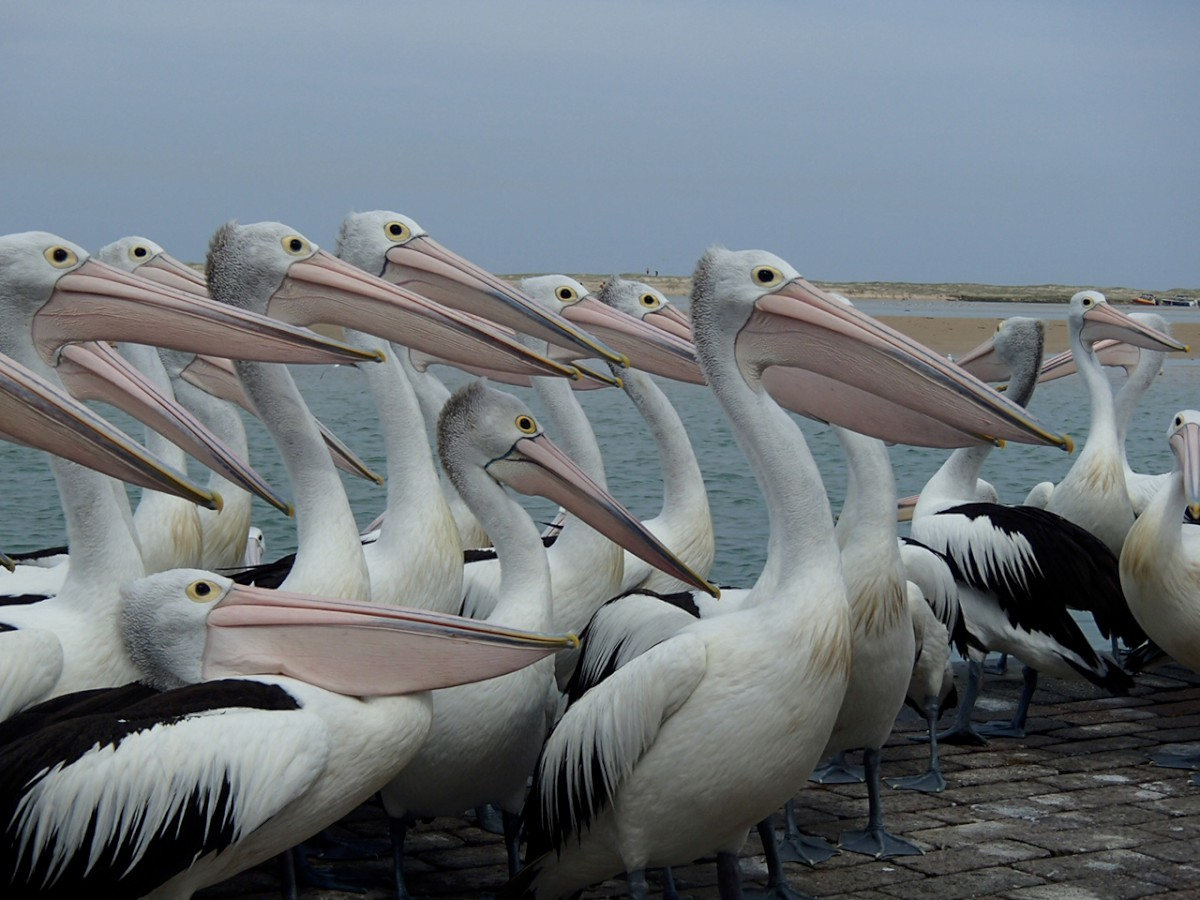 Jonatán a pelikán