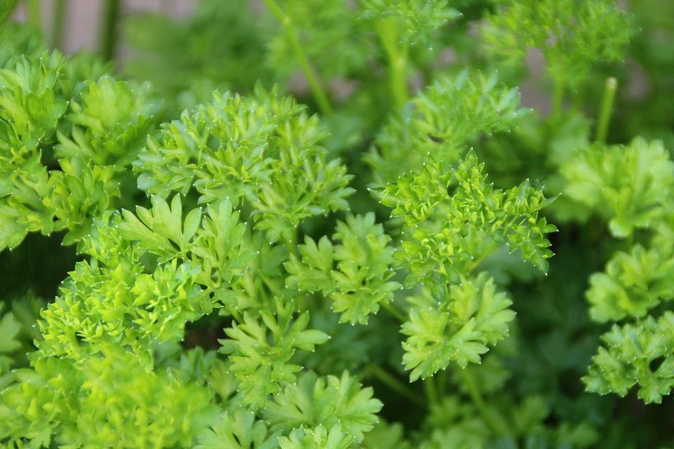 parsley-3433592_960_720.jpg