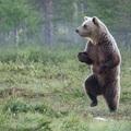 Már több a medve Magyarországon, mint a migráns