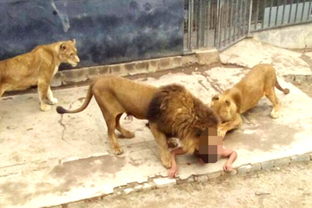 lions-attack-naked-man-enclosure-metropolitan-zoo-517318.jpg