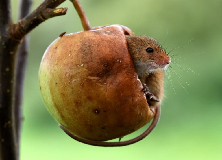 1_caters_mouse_in_an_apple_02-768x556.jpg