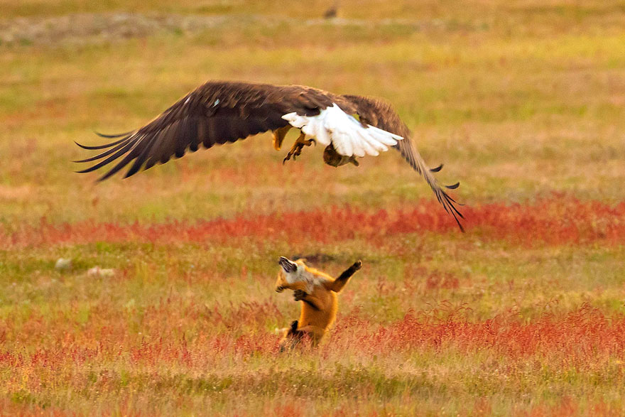 wildlife-photography-eagle-fox-fighting-over-rabbit-kevin-ebi-10-5b0661f6e5d5c_880.jpg
