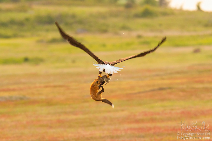 wildlife-photography-eagle-fox-fighting-over-rabbit-kevin-ebi-14-5b0662f18d04a_880.jpg