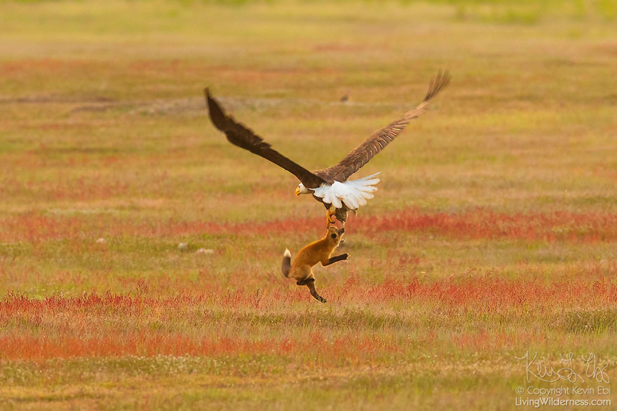 wildlife-photography-eagle-fox-fighting-over-rabbit-kevin-ebi-2-5b0661e5b1a11_880.jpg