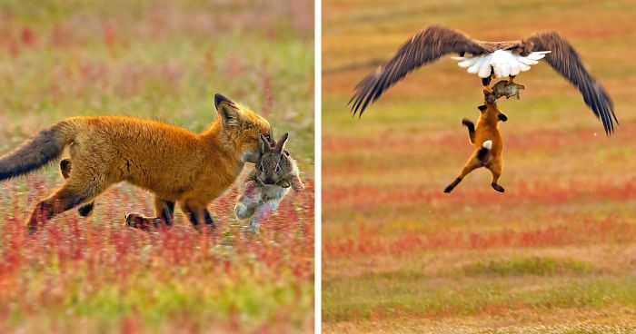 wildlife-photography-eagle-fox-fighting-over-rabbit-kevin-ebi-fb4_700-png.jpg