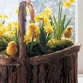 Húsvéti kosár nárciszokkal és csibékkel