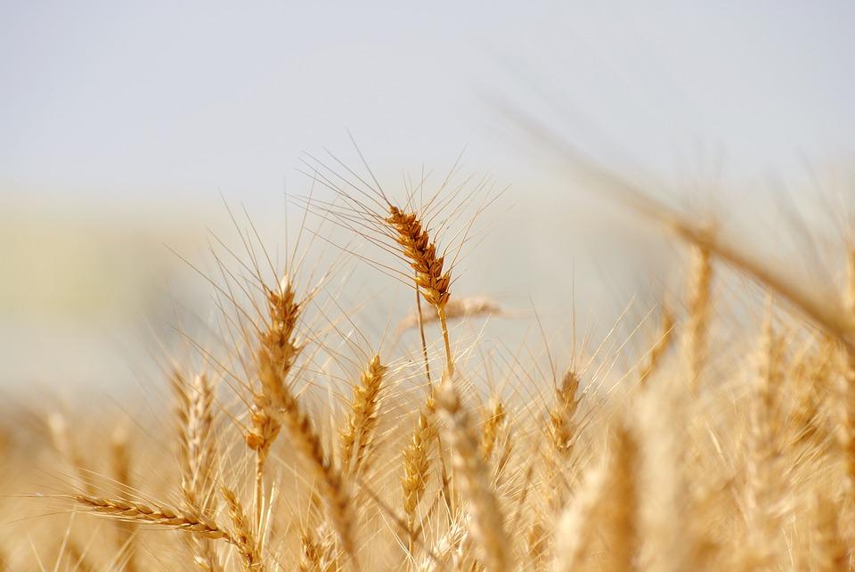 wheat-3120580_960_720.jpg