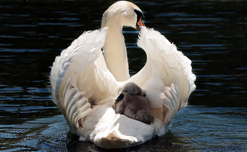 swan-2350668_960_720.jpg