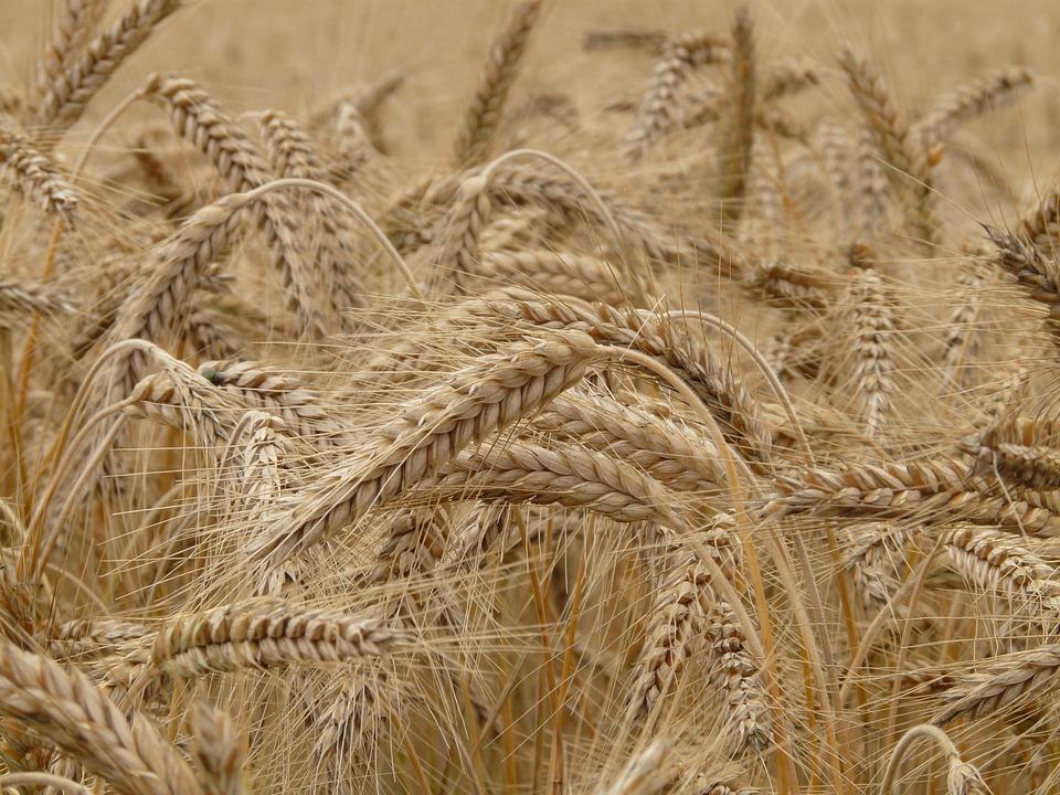 wheat-8762_960_720.jpg