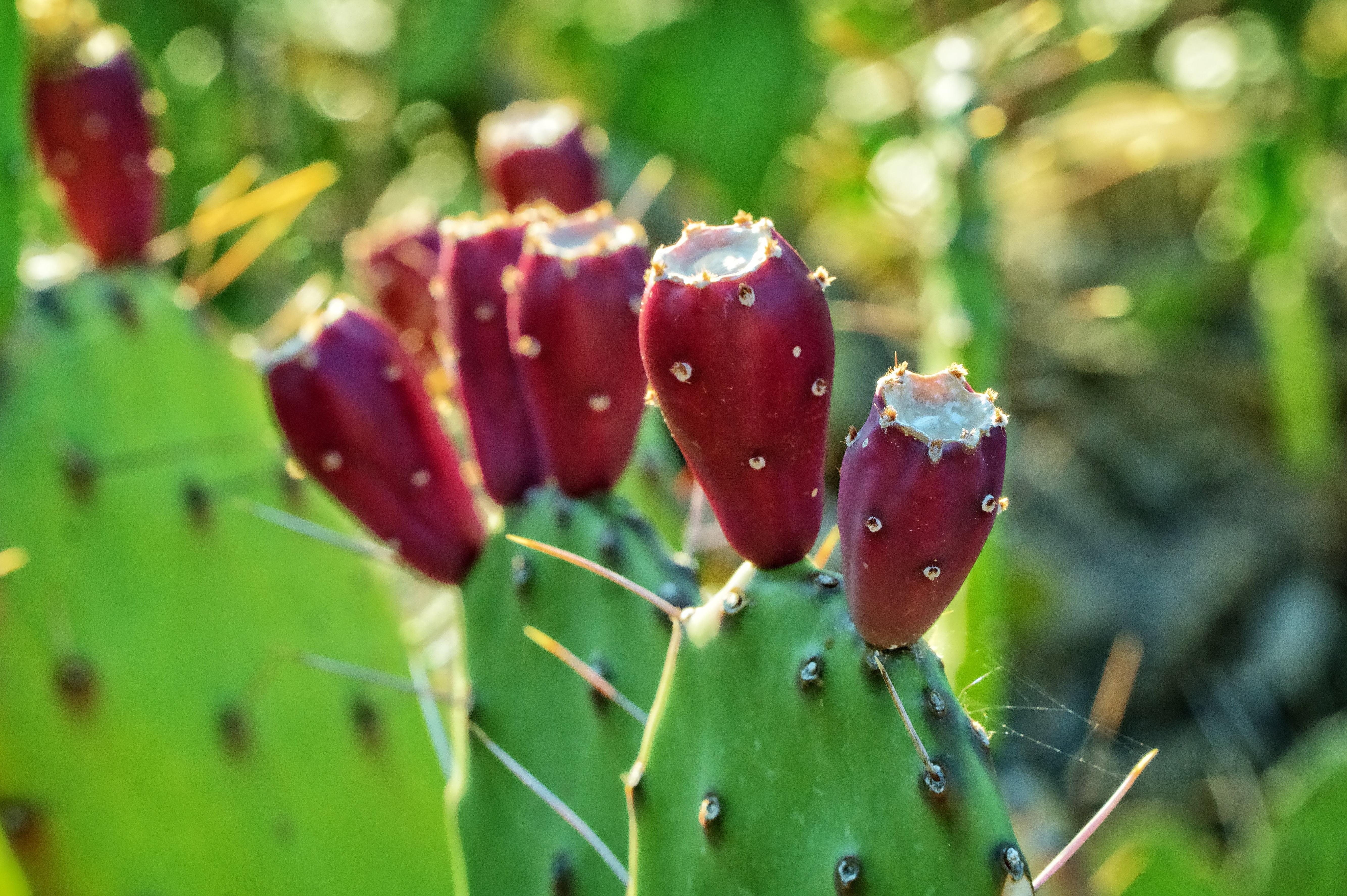 cactus-fruit.jpg