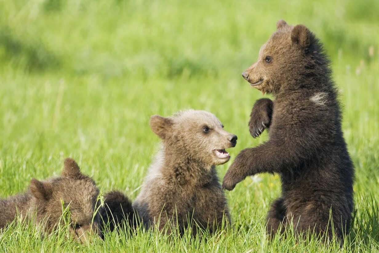 Játékos medvebocsok [103]