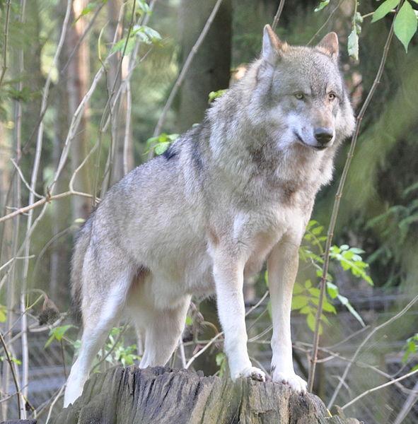 Figyelő farkas [111]