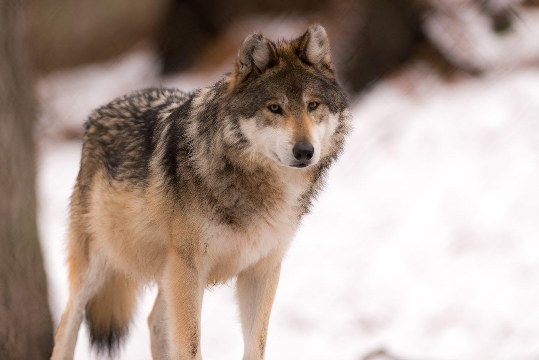Farkas a téli erdőben [112]