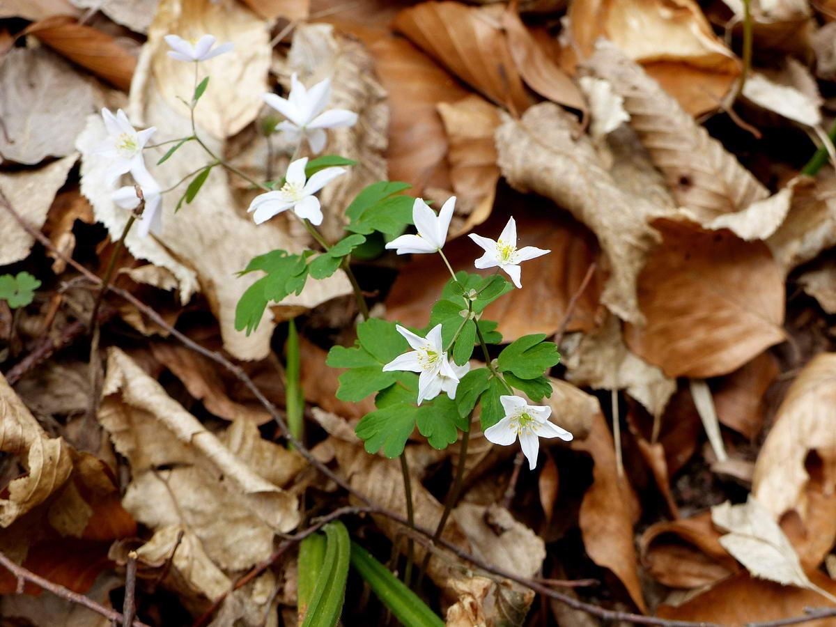 Szerintünk ez is galambvirág, de szabályos ötágú csillag virágszirmokkal