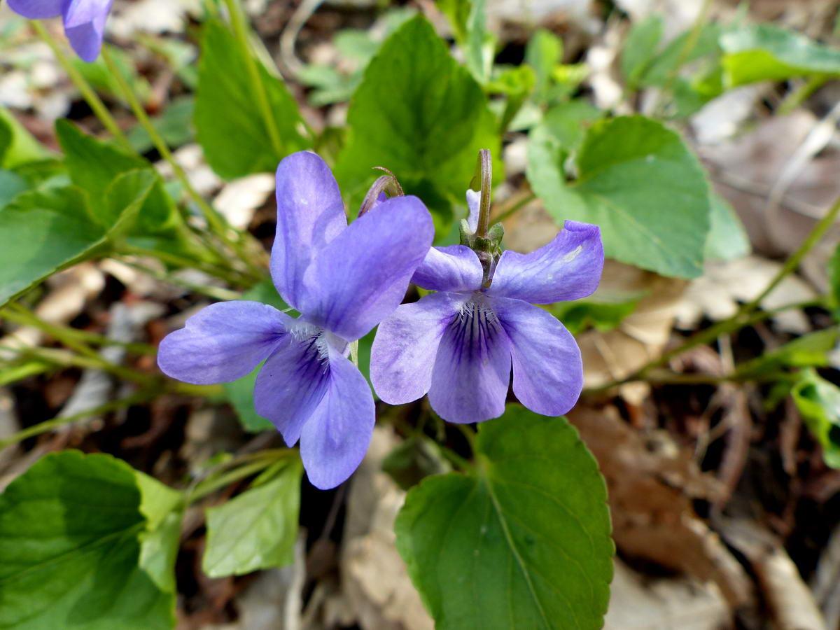 Illatos ibolya (Viola odorata)