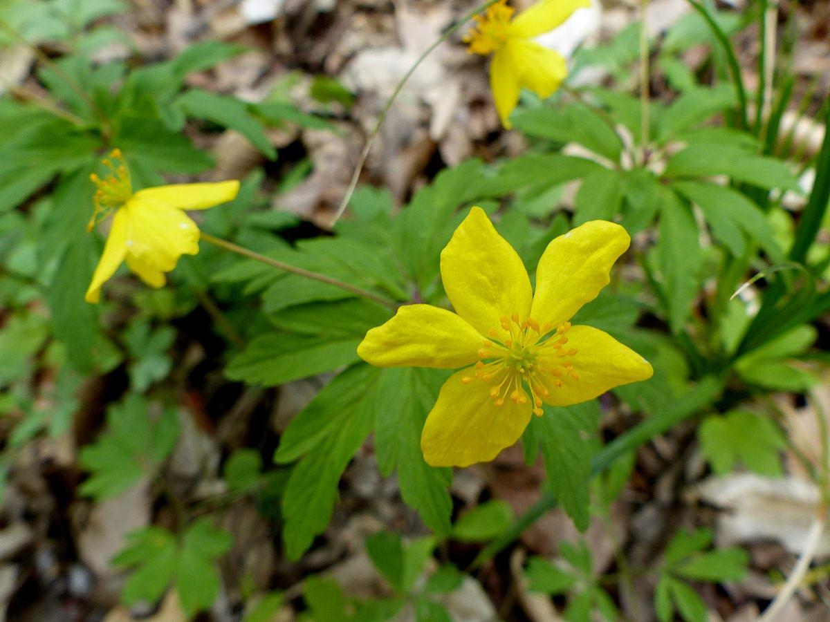 Bogláros szellőrózsa (Anemone ranunculoides)