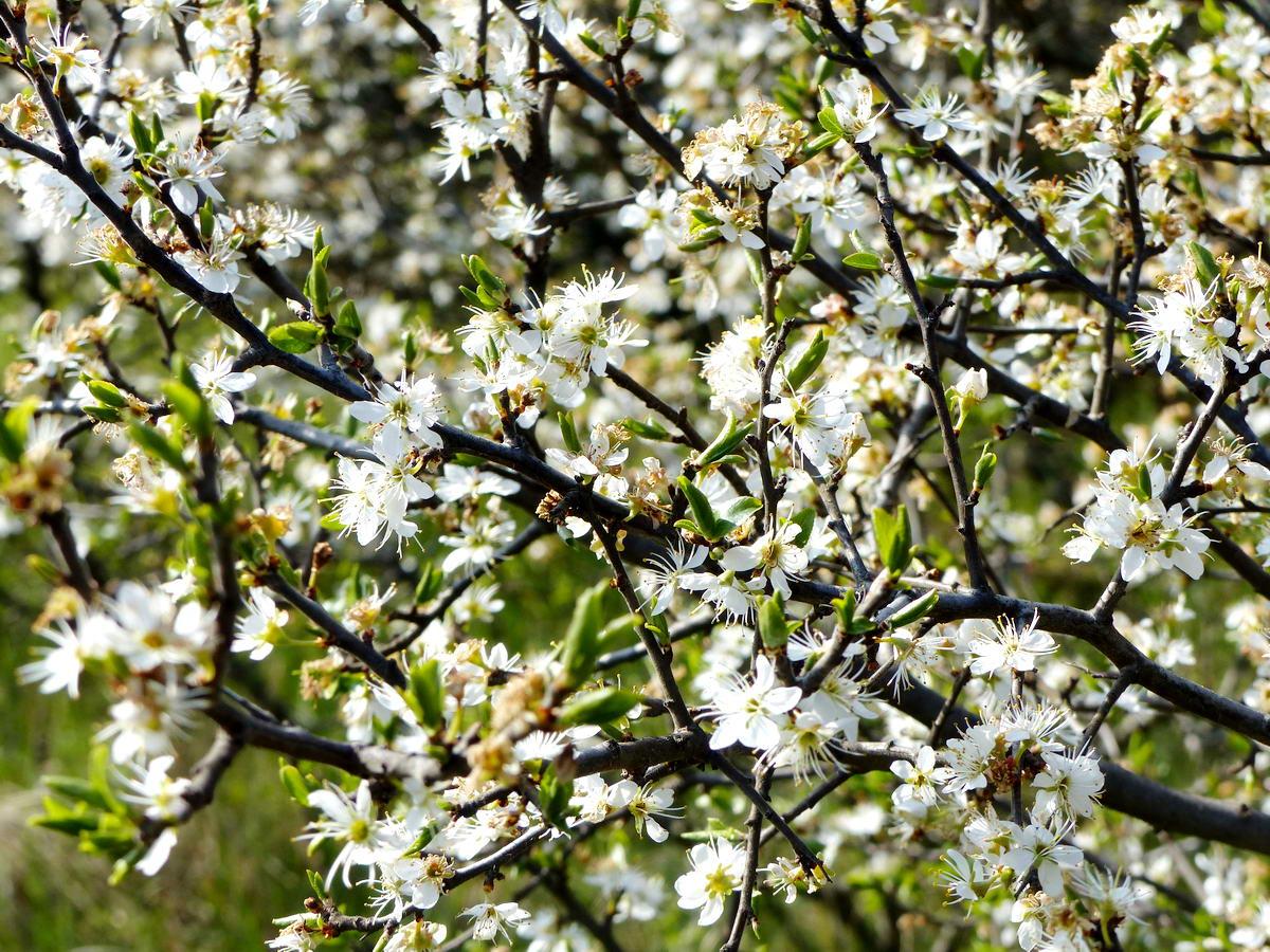 Virágzik a cseresznyeszilva