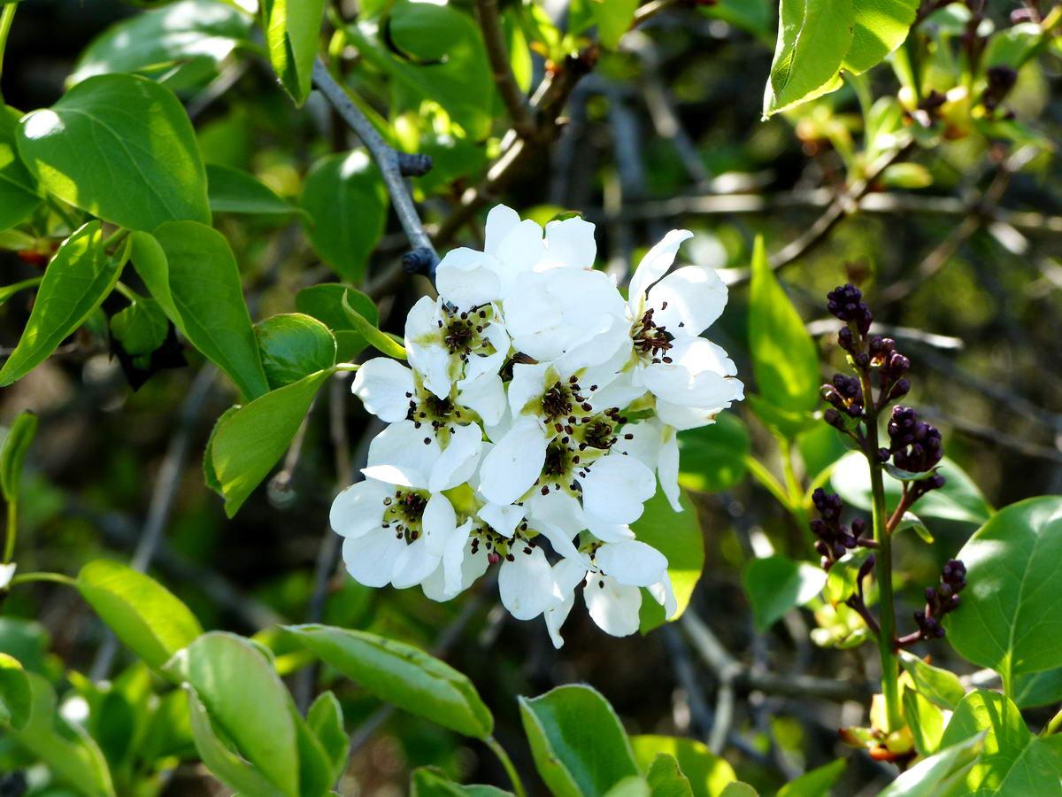 A virágzó vadkörte mellett már a lila orgona is bimbózik