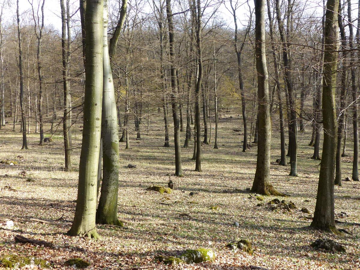 Ritkított vegyeserdő a Halyagos platóján