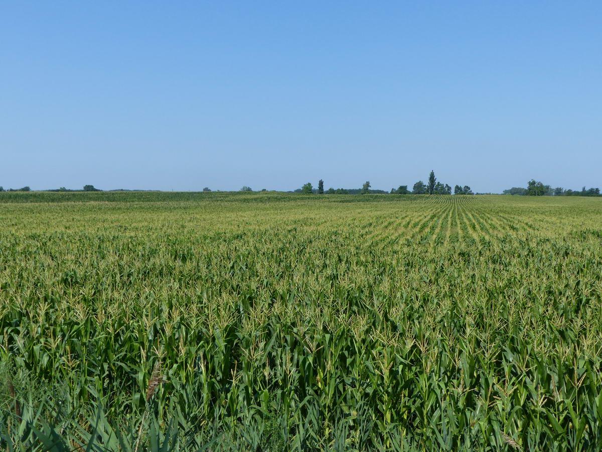 Szinte végtelen kukoricatábla