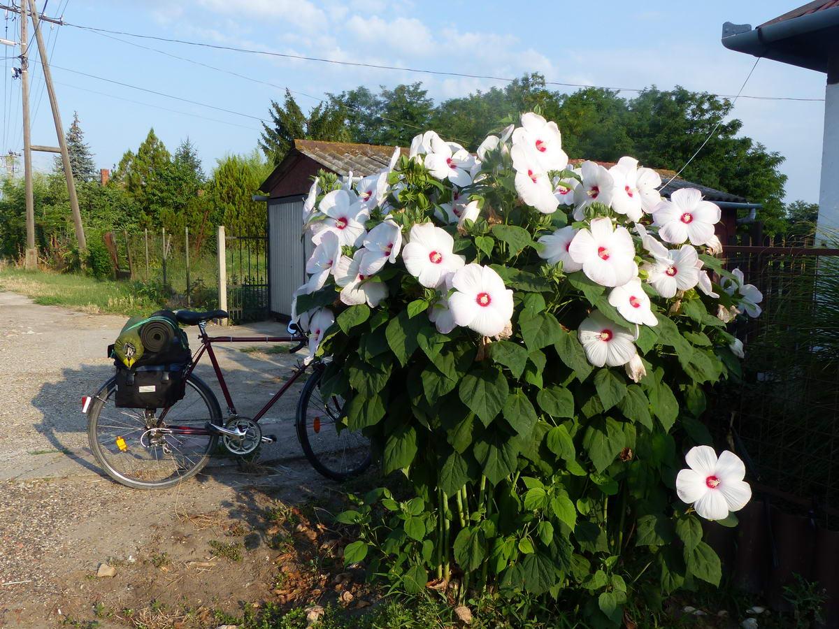 Nyíló fehér mocsári hibiszkusz (Hibiscus moscheutos) az egyik ház előtt