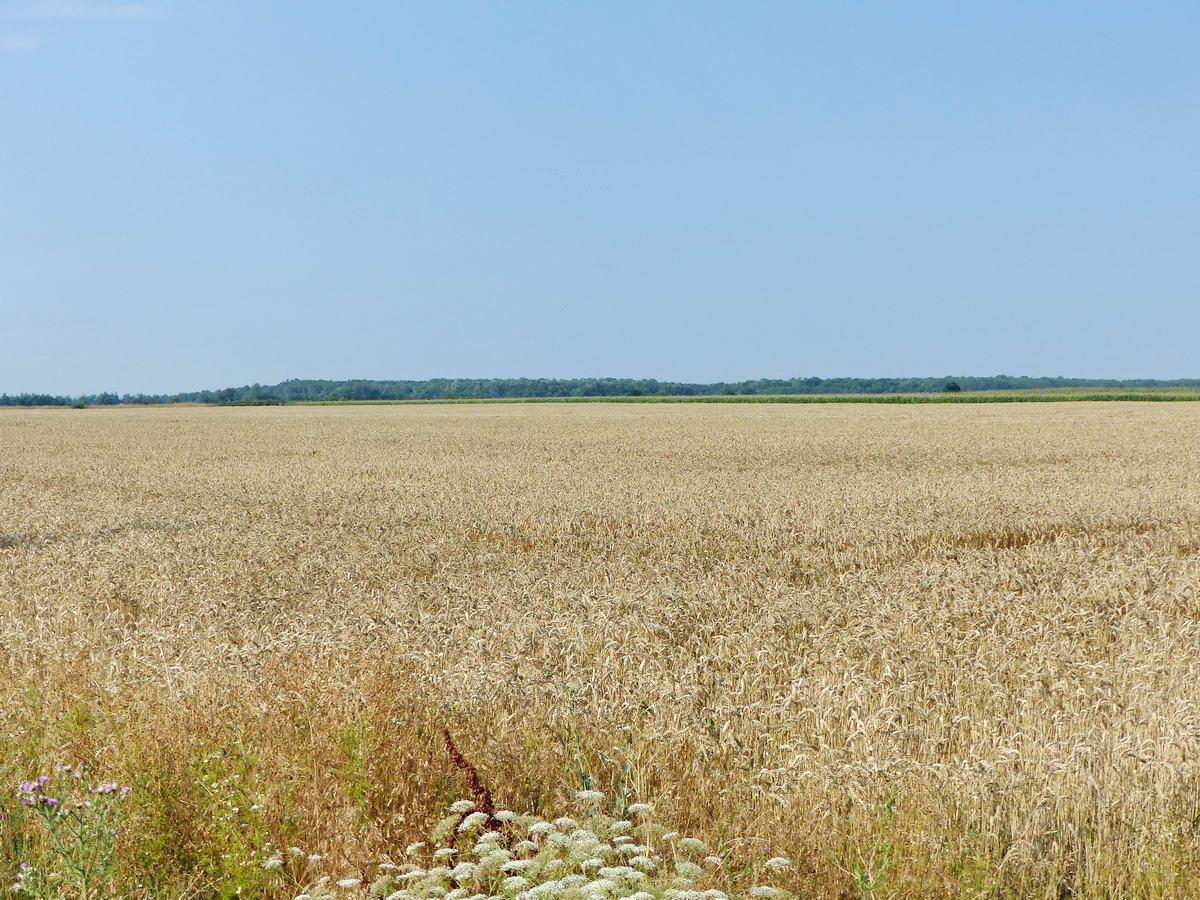 Még lábon álló búzamező, távolabb kukoricás