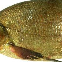 Még több hal szorítja ki a vizet a Balatonból