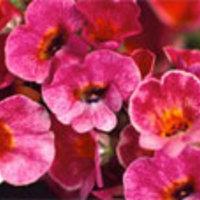 Primula elsők között virágzik!