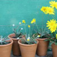 Növények balkonra - (folyamatos feltöltés alatt)