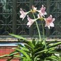 Amarilliszt nem csak lakásban, télen, de a teraszon, nyáron is virágoztathatjuk
