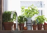 Fűszernövények nevelése ablakban