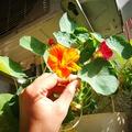 Ehető virágok a balkonon: nemcsak szép, de finom is a sarkantyúka