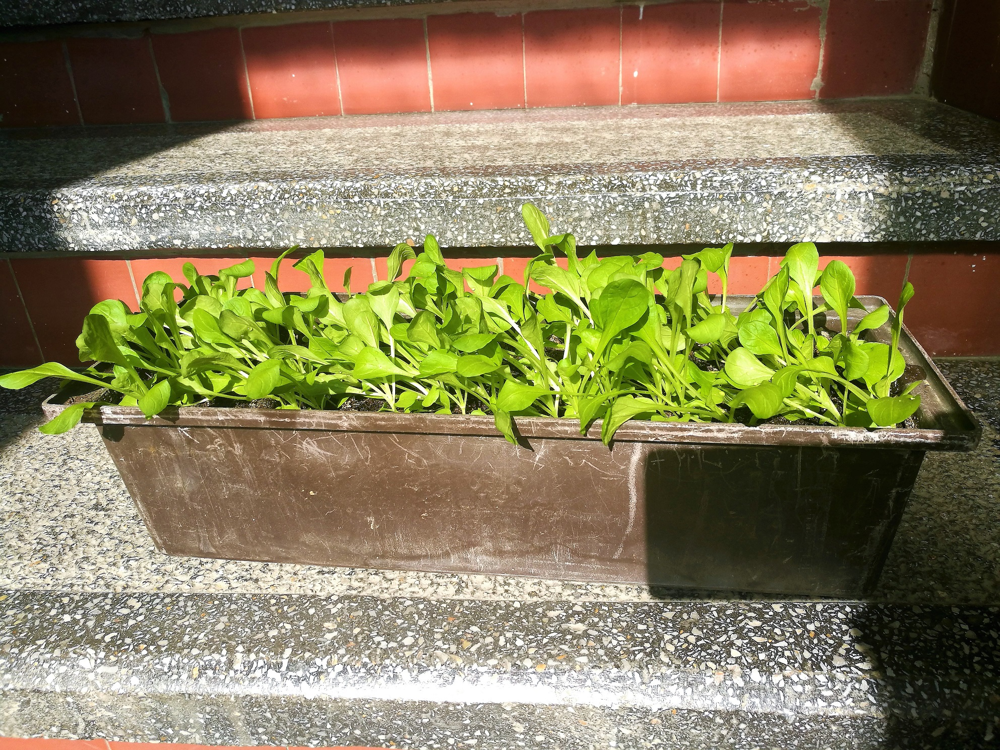 Így termesztettem madársalátát a lépcsőházban