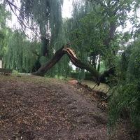 Újabb kidőlt fűzfa
