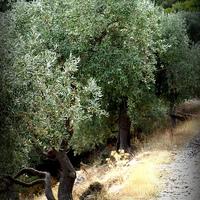 A thassosi olíva
