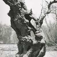 A boszorkányok fája