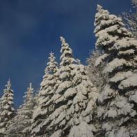 Fenyőfa és hó