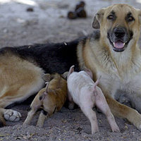 Kutya vett gondozásba két kismalacot