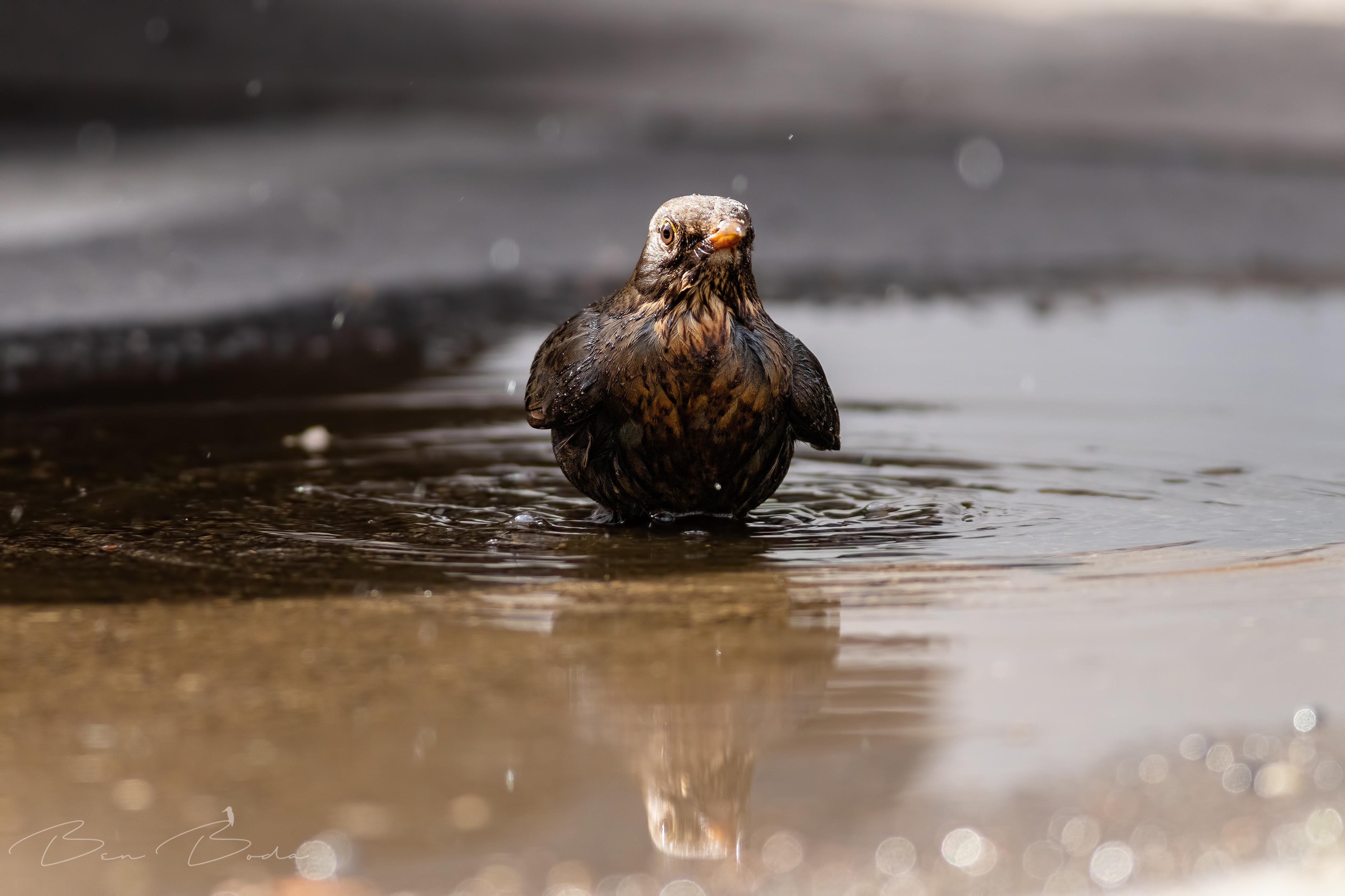 Fekete rigó fürdő
