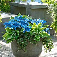 Konténerbe ültethető árnyéktűrő növények