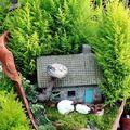 Tündérkertek növényei - Szobaciprus