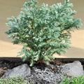 Tündérkertek növényei: Szavára hamisciprus