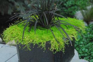 Drámai hatás a kertben fekete virágokkal, növényekkel