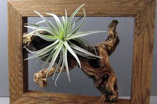 Párás lakások növénye: Tillandsia