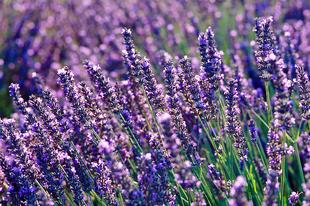 Szárazságtűrő, virágos növények a kertbe, teraszra